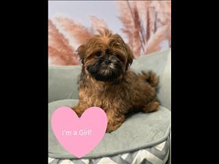 LAST ONE!! Female Shih Tzu Puppies!!