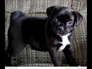 WEEKEND SPECIAL! - Jug Puppies (Pug x JRT)