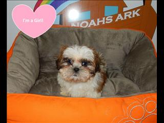Pure Shih Tzu Puppies - call now 98313322