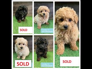Maltese Shihtzu x Poodle (Shmoodle) puppies - Call now!!!
