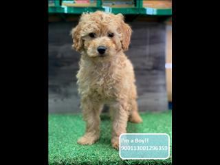 Red Toy/Mini Poodle x puppies - Call now!!!