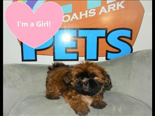 PRICE REDUCED!!!! Shih Tzu Puppies! Call now