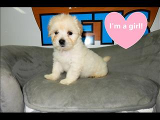 Maltese x Shih Tzu Pups!!