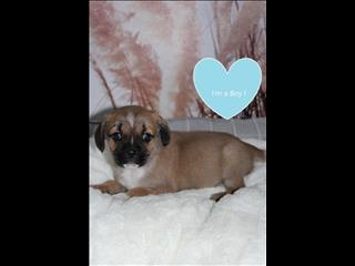 REDUCED Pugalier Puppies! (Pug x Cavalier)