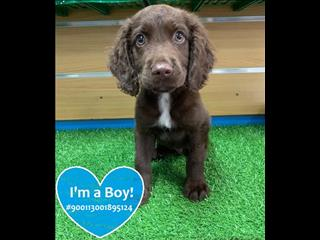 LAST ONE! Chocolate Labrador x Springer Spaniel (Springador) puppies!