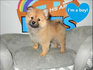 Pomeranian Puppies! CALL NOW!!!