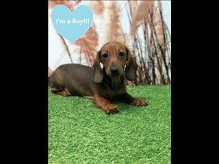 OPEN ALL EASTER!!!! Beautiful  Red Miniature Dachshund puppies!!