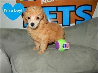Tiny Toy Poodle Puppies!