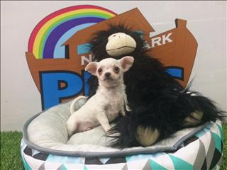 Chihuahua Puppies! - Call Now - 9831 3322