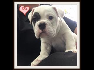 MID WEEK SALE TOMORROW ONLY!!!! - Aussie Bulldog Puppies! - call now 9831 3322!!