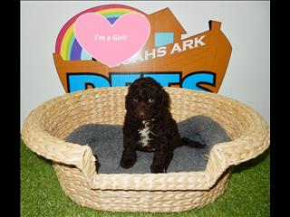 REDUCED PRICE- Chocolate Spoodle (Cocker Spaniel x Poodle) Puppies ! - 9831 3322