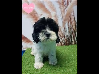 OPEN ALL EASTER!!!! Toy Cavoodle (Cavalier x Poodle) puppies