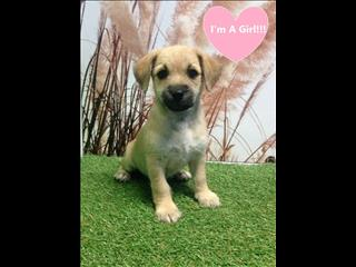 WEEKEND SPECIAL!!! JACK RUSSELL X PUPPY