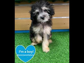 Black and Tan Shih-poo/Shoodle (Shihtzu x Toy Poodle) puppy - CALL NOW!