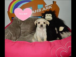 Chihuahua x Puppies- Tiny males and females! 9831 3322
