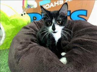 Sabrina- Playful Female Kitten