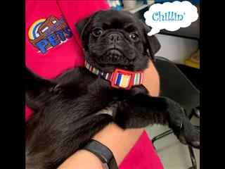PUGTASTIC Sale - Pug Pups ON SALE this week