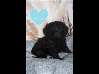 Toy Poodle Puppies! PAYMENT OPTIONS AVAILABLE