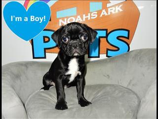3/4 Pug x Puppies!