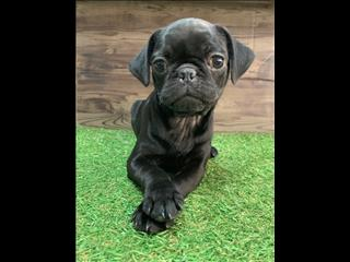 Pug Puppies! Call now!! Great Prices
