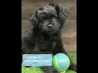 REDUCED!!! Pekingese x Toy Poodle