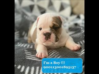 Male Fawn & White British Bulldog pup - Ready Mid-January 2020