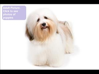 REDUCED Havanese Puppies - Call now!!!