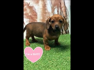 Dachshund x JRT puppies - Ready to go