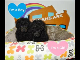 Pure Bred Toy Poodle Puppies!