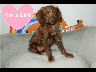 Schnoodle x (Mini Poodle x Mini Schnauxer x) Puppies!