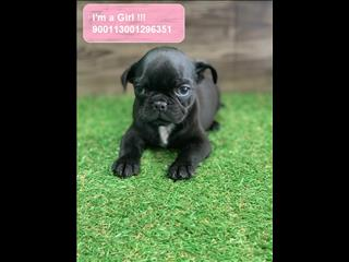 REDUCED!!! French Bulldog x Pug (Frug) puppies * Payment Options Available*
