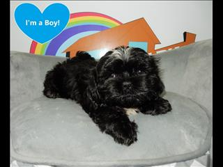 WEEKEND SPECIAL- Pure Bred Shih Tzu Puppies