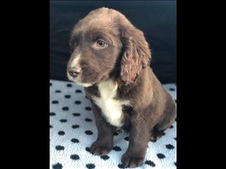 Labrador x Springer Spaniel (Springador) - due in store 18 July