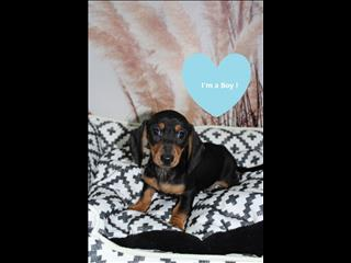 GREAT PRICE! Miniature Dachshund Puppies!! *PAYMENT OPTIONS AVAILABLE*