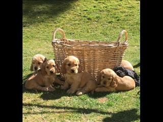 Gorgeous Purebred Cocker Spaniel puppies!! **ARRIVING SATURDAY 18/01**
