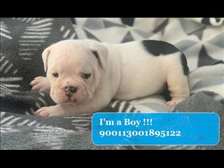Black and White British Bulldog pup - Ready Mid-January 2020