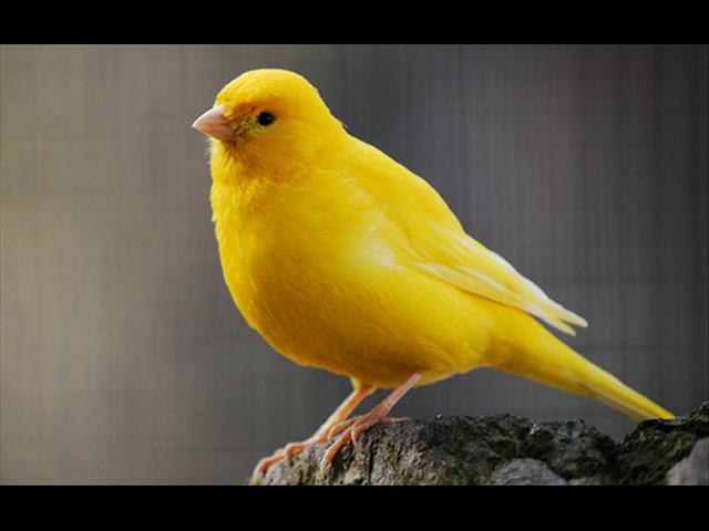 Beautiful Canary birds - Orange and Yellow - Call now 9831 3322
