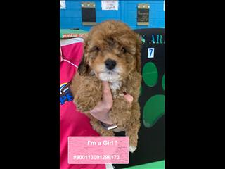NEW LITTER Gorgeous Cavoodle Puppies!