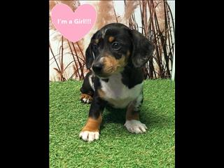 OPEN ALL EASTER!!!! Dachshund x JRT Silver Dapple - Male and Female
