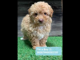 Red Moodle/Maltipoo Puppies!!