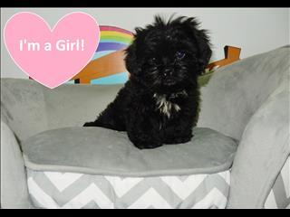 Adorable Shih Tzu Puppies!