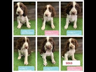 NEW! Chocolate Springer Spaniel Puppies!!