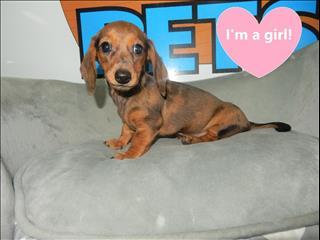 Mini Dachshund Puppies - Call Now!!!