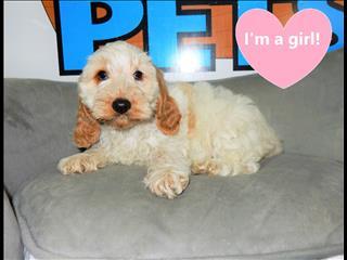 Gorgeous Blenheim Spoodle pups!!