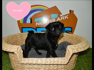 GREAT PRICE!! Pug Puppies! 9831 3322
