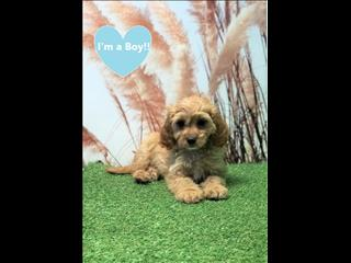 OPEN ALL EASTER!!!! Toy Cavoodle Puppies (Toy Poodle x Cavalier King Charles Spaniel)!
