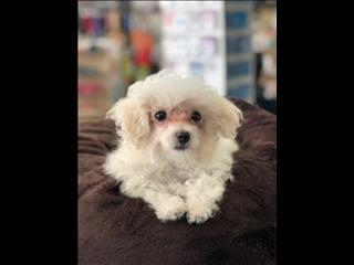 REDUCED- Moodle (Maltese x Toy Poodle) Puppies