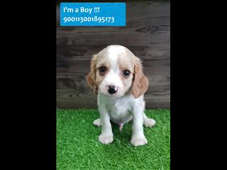 Lemon and White Beagle x Cavalier (Beaglier) pups