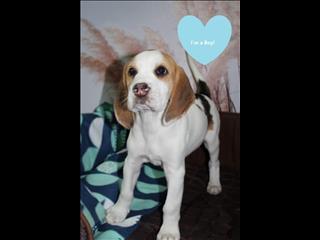 Beagle x Puppies - Tri Colour - Ready to go