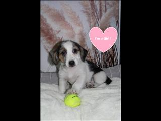 ONE LEFT!! Beagle x puppy - Female!